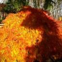 Green Mist Japanese Maple Fall Foliage