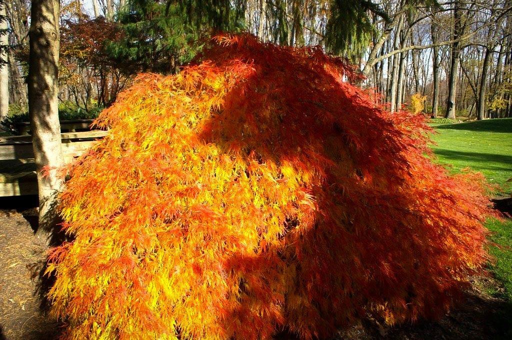 Green Mist Japanese Maple For Sale Online The Tree Center