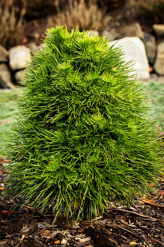 Green Penguin Scots Pine Trees For Sale The Tree Center