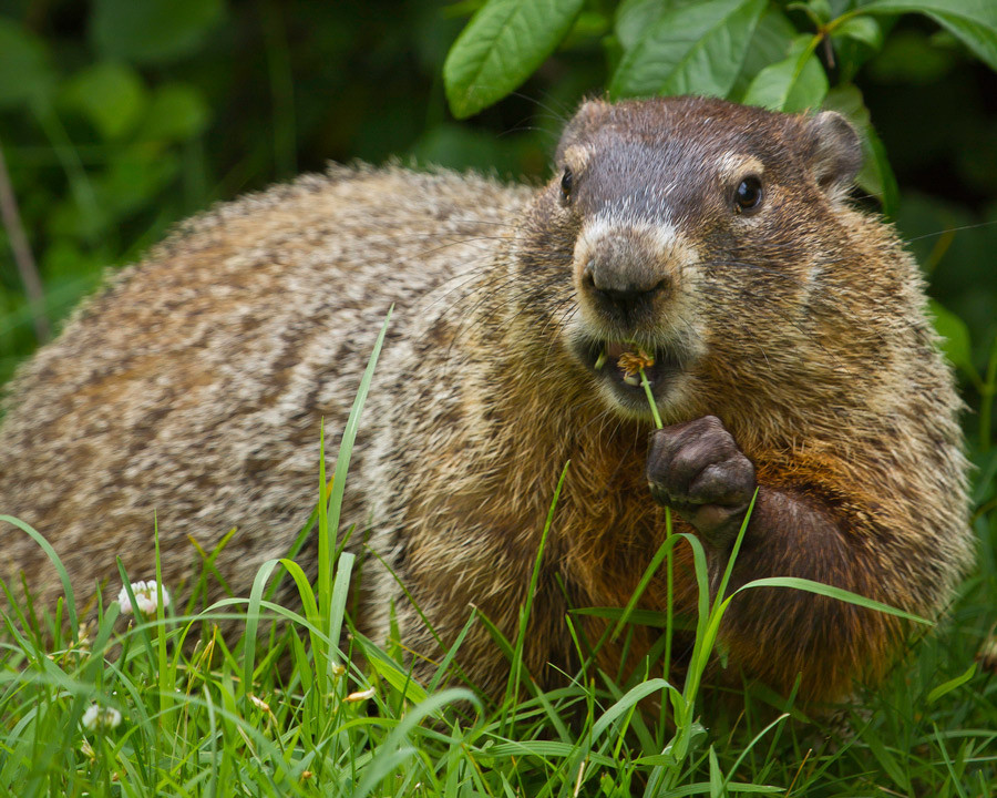 How To Get Rid Of Groundhogs? | The Tree Center™