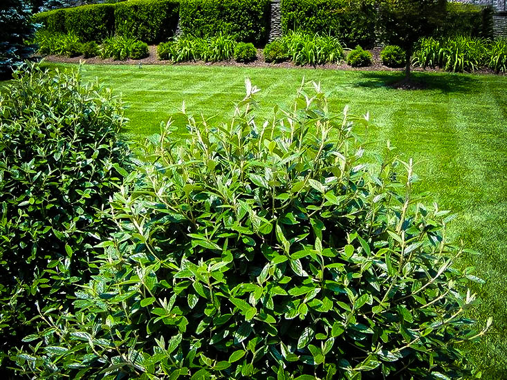 Gulftide Osmanthus Shrubs For Sale The Tree Center