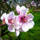 Hale Haven Peach Blossoms
