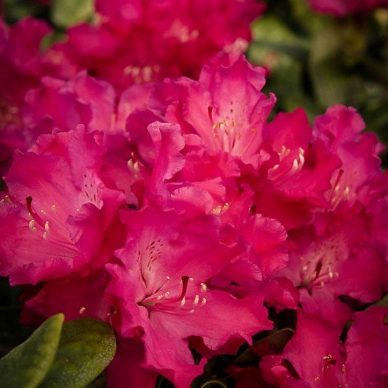 Hellikki Red Rhododendron For Sale Online The Tree Center
