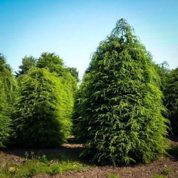Hemlock Trees For Sale Buy Hemlock Trees Online The Tree Center