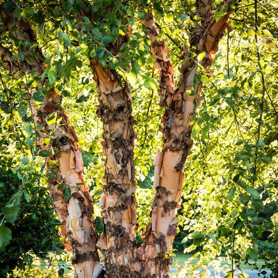 Heritage Birch Clump Trees For Sale The Tree Center