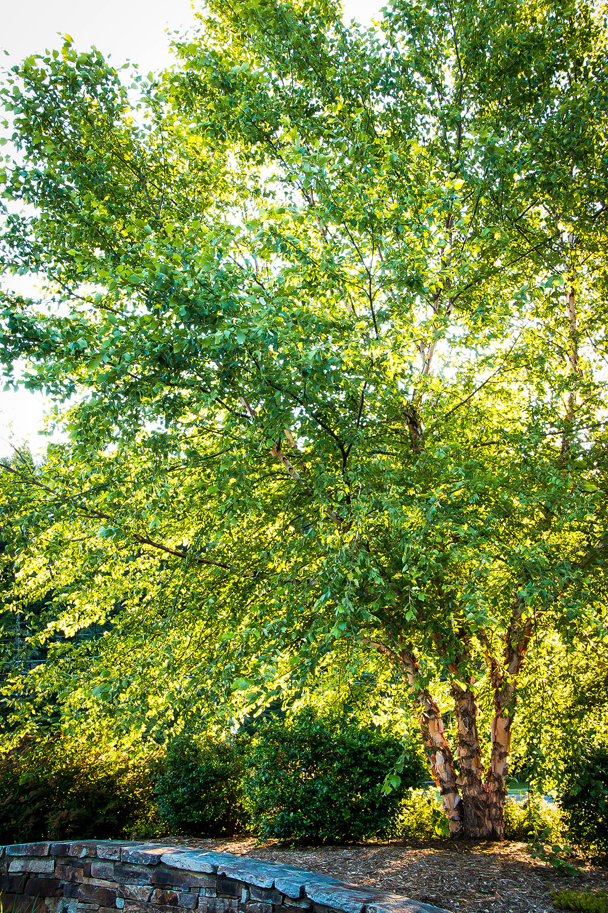 Heritage Birch Clump Trees For Sale | The Tree Center™