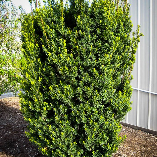 Japanese Yew Bush