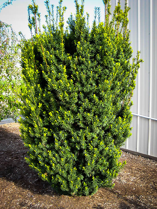 Hicks Yew For Sale Online The Tree Center