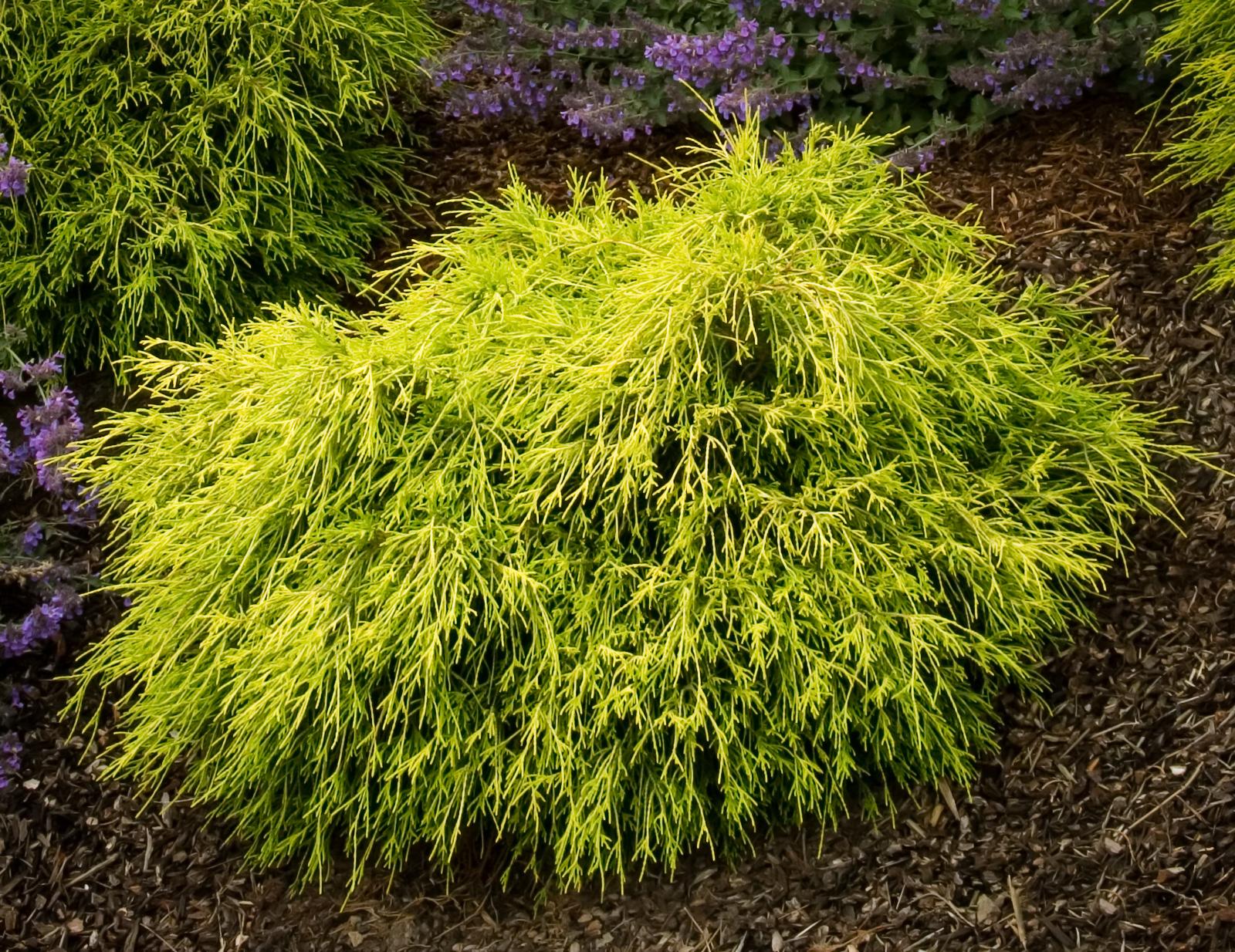 sungold sawara cypress shrubs for sale