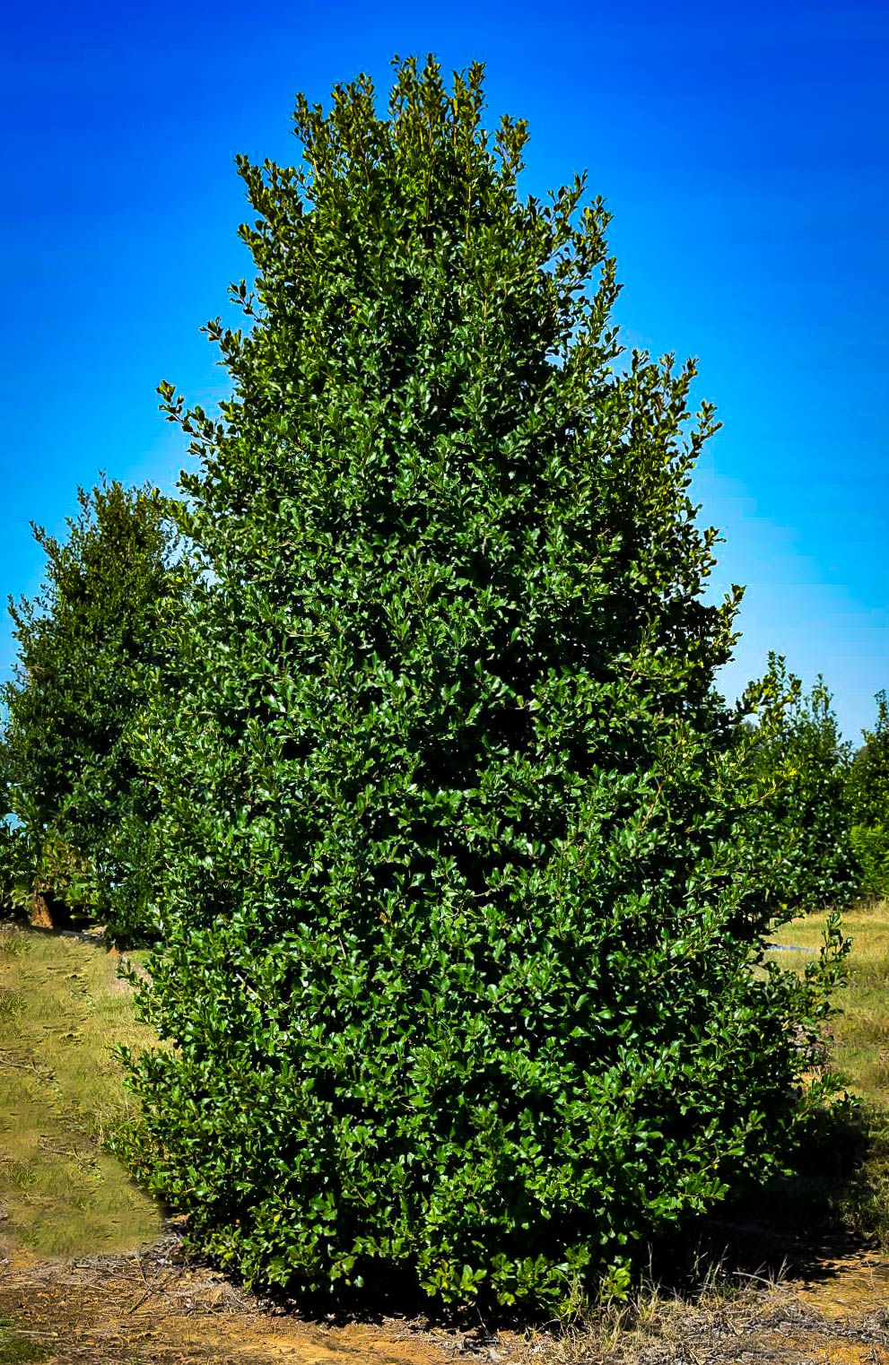 Greenleaf Holly Shrubs For Sale The Tree Center