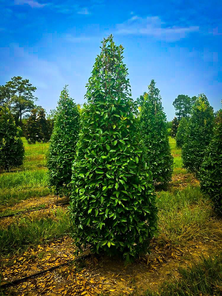 Savannah Holly Trees For Sale The Tree Center