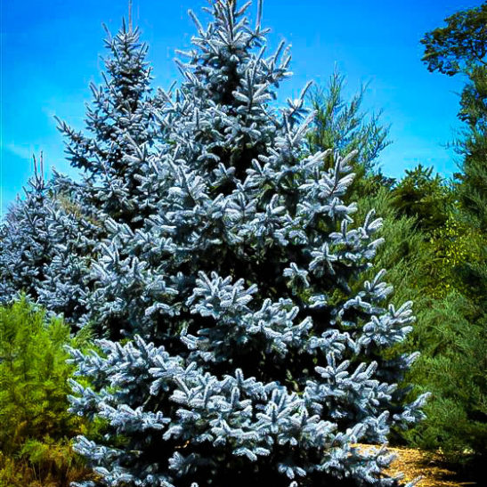 Hoopsii Blue Spruce Trees For Sale