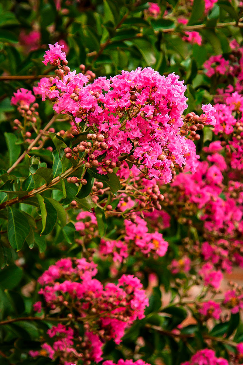 Hopi Crape Myrtle The Tree Center