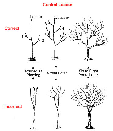 How To Prune Tree