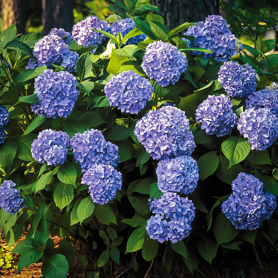 All Summer Beauty Hydrangeas For Sale The Tree Center