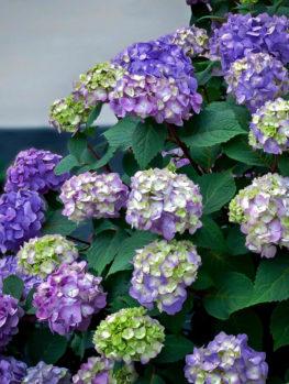 Bloomstruck® Hydrangea