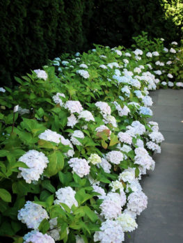 Blushing Bride Hydrangea