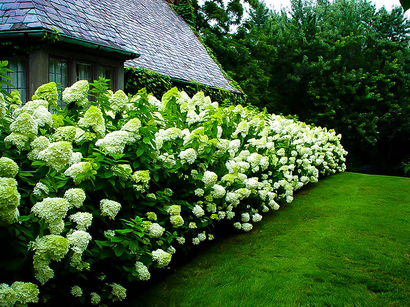 Limelight Hydrangea For Sale Online : The Tree Center