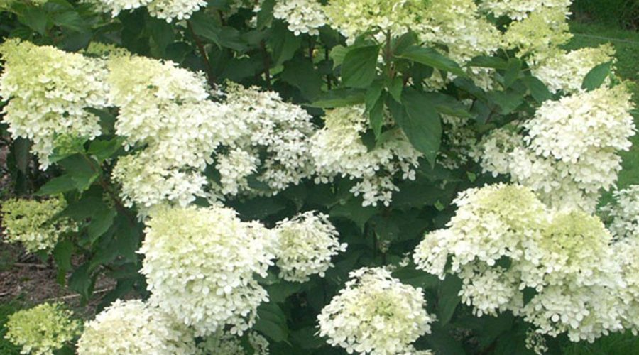 An Update for the PG Hydrangea