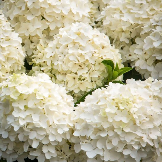 Wedding White Hydrangea: White Wedding® Panicle Hydrangeas For Sale