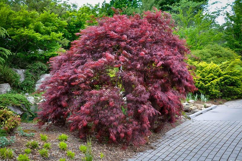 Inaba Shidare Japanese Maple