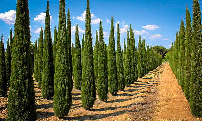 italian cypress for sale online the tree center