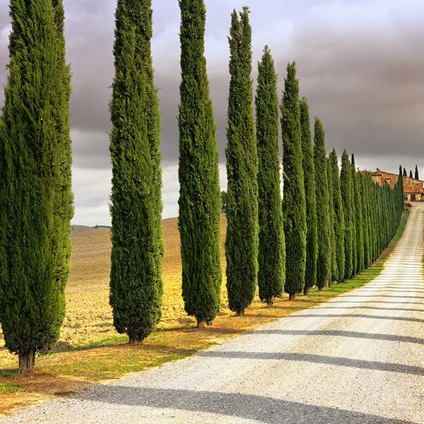 Cost of mature italian cypress tree