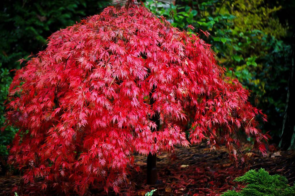 orangeola japanese maple for sale the tree center. Black Bedroom Furniture Sets. Home Design Ideas