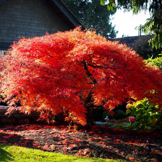Orangeola japanese maple for sale the tree center for Maple trees for sale