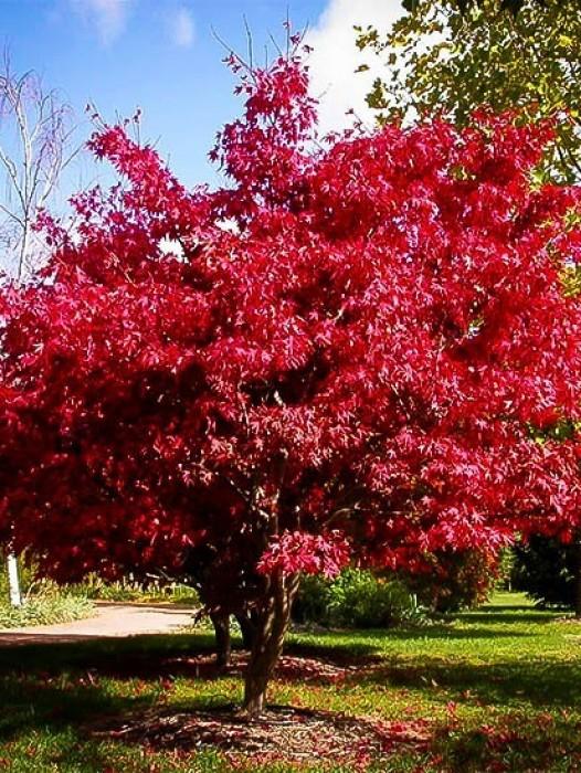 Garnet Japanese Maple   The Tree Center™