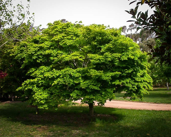 Home Japanese Maple Tr...