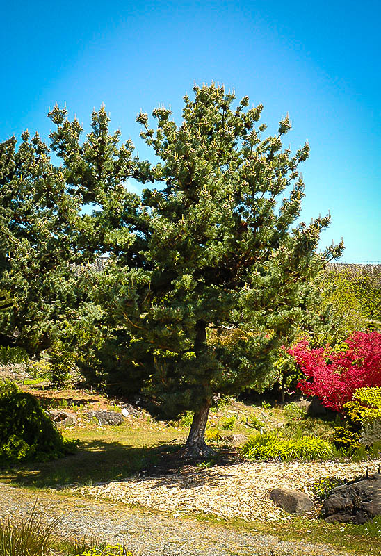 Japanese white pine the tree center for Mature pine trees