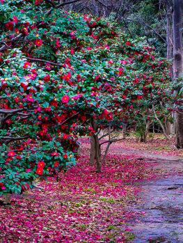 Kanjiro Camellia
