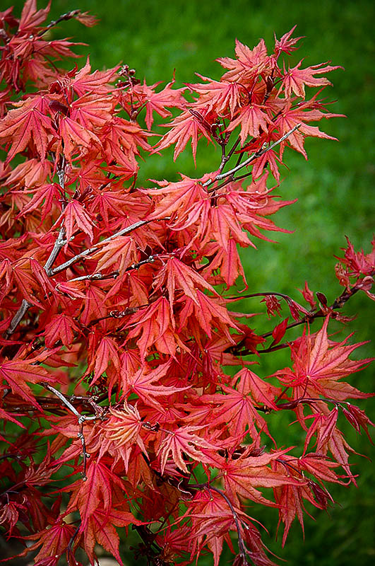 Kasagiyama Japanese Maple For Sale Online The Tree Center