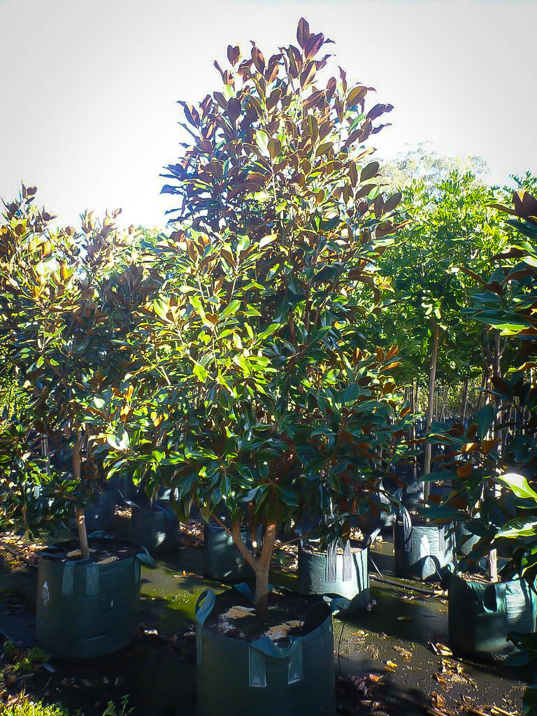 Kay Parris Magnolia For Sale | The Tree Center™