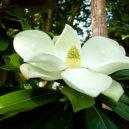 kay-parris-magnolia-2