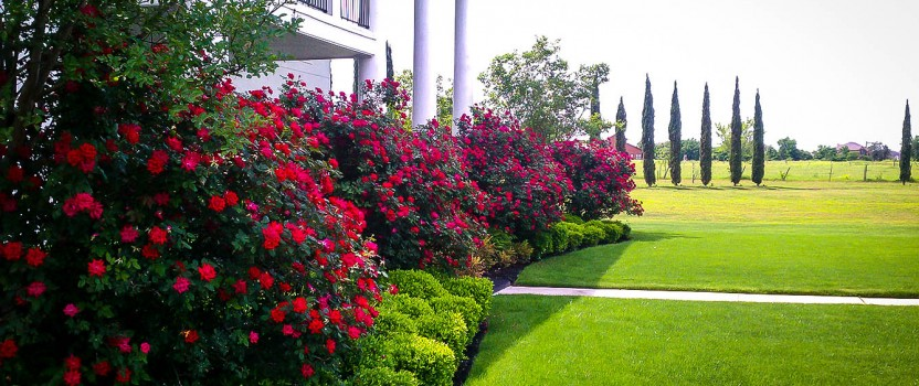 Double Knockout Roses – The Most Popular Rose