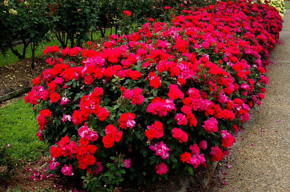 Double Knockout Rose Rush Row