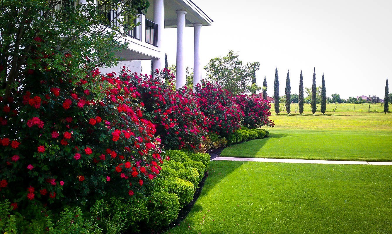 Double Knockout Roses The Most Popular Rose The Tree