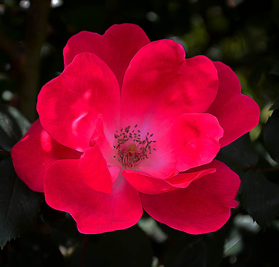 Red Knockout Rose Bushes For Sale Online The Tree Center
