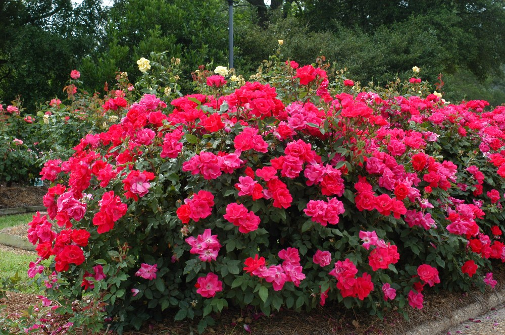 Large Knockout Rose Bush