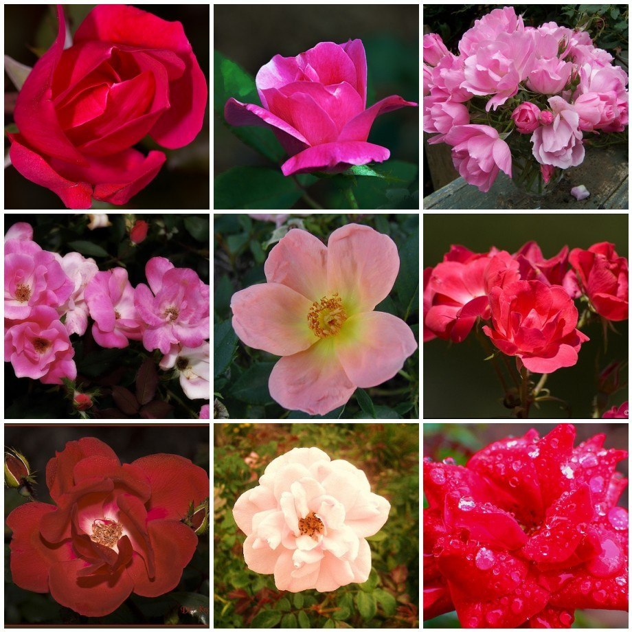 Knockout Rose Varieties