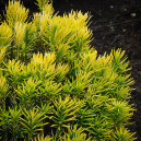 Korean Gold Plum Yew Needles