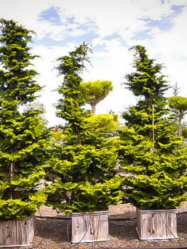Koster's Hinoki Cypress