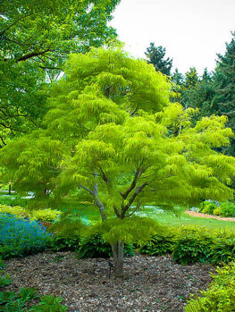 Buy japanese maple trees the tree center for Small japanese tree