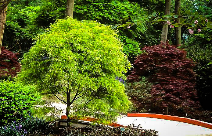 Koto Ito Komachi Japanese Maple Trees For Sale The Tree