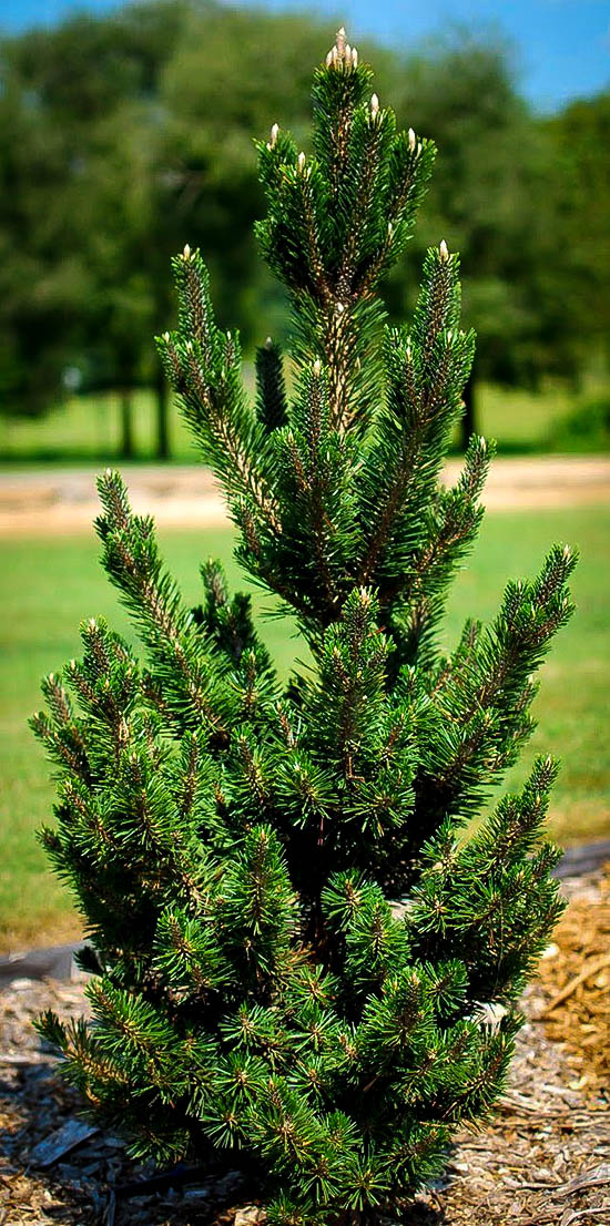 Kotobuki Japanese Black Pine Trees For Sale The Tree Center