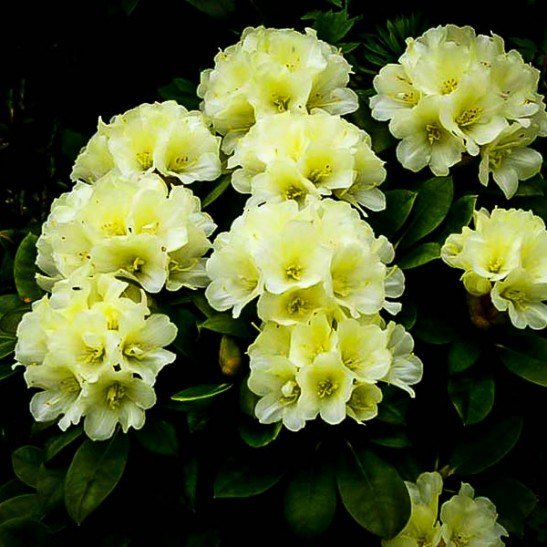 Yellow Rhododendron For Sale The Tree Center