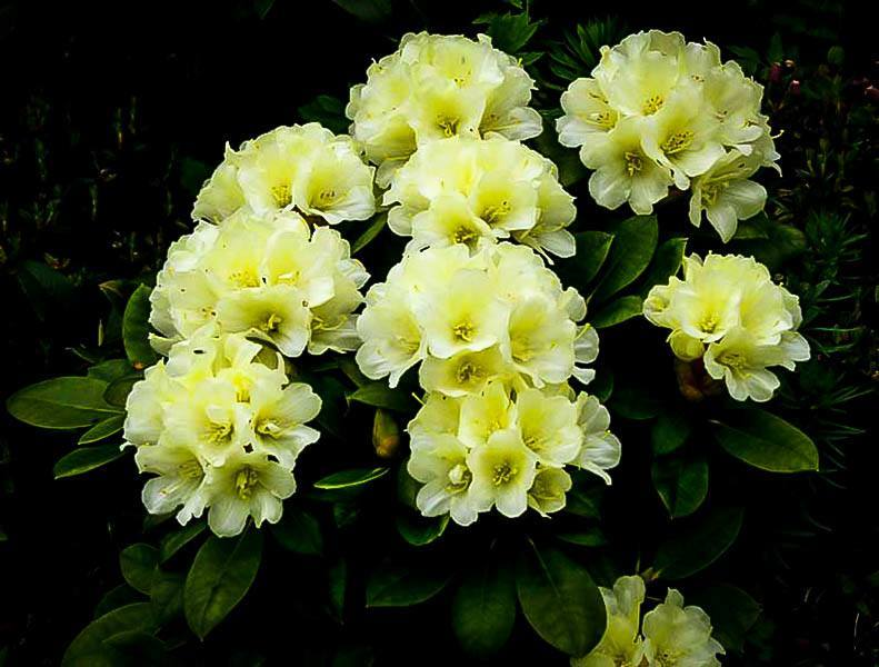 Yellow Rhododendron Lemon Dream The Tree Center