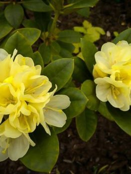 Yellow Rhododendron Lemon Dream